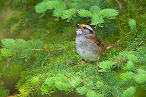 White-throated Sparrow (Zonotrichia albicollis) male singing from conifer branch, Cortland County, New York, USA  -  Marie Read