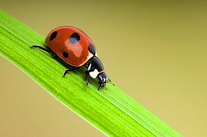 Seven-spot ladybird (Coccinella septempunctata) Portrait on grass stem, UK, Captive  -  Andy Sands