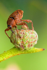 Acorn weevil (Curculio glandium) Drilling hole in developing acorn in which to lay egg, UK, Captive, sequence 2/4  -  Andy Sands