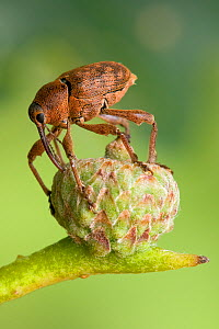 Acorn weevil (Curculio glandium) Drilling hole in developing acorn in which to lay egg, UK, Captive, sequence 4/4  -  Andy Sands