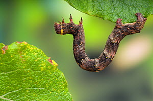 Brindled Beauty (Lycia hirtaria) caterpillar larva feeding on willow leaves, Hertfordshire, England, UK  -  Andy Sands