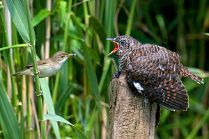 European Cuckoo chick (Cuculus canorus) being fed by Reed Warbler on post, West Sussex, England, UK  -  Andy Sands