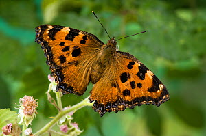 Large Tortoiseshell (Nymphalis polychloros) on Bramble flower with wings open, species probably extinct in UK, Captive  -  Andy Sands