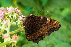 Large Tortoiseshell (Nymphalis polychloros) on Bramble flower with wings closed, species probably extinct in UK, Captive  -  Andy Sands