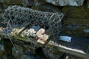 Rail Trap with eggshell set along drystone wall to trap predators of ground nesting birds, Upper Teesdale, Co Durham, England, UK, April 2008 - Andy Sands