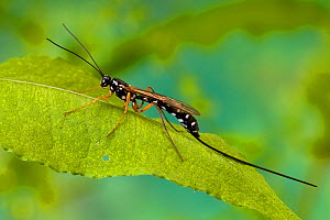 Ichneumon wasp (Rhyssa persuasoria) one of the largest British wasps, at rest on Dock leaf, UK, Captive  -  Andy Sands