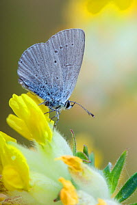 Small Blue butterfly (Cupido minimus) at rest on Kidney Vetch (foodplant) flowers, smallest British butterfly, Bedfordshire, England, UK  -  Andy Sands
