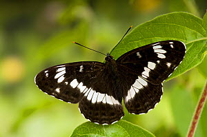 White Admiral butterfly (Limenitis camilla) with wings open on Honeysuckle (foodplant), UK, Captive - Andy Sands