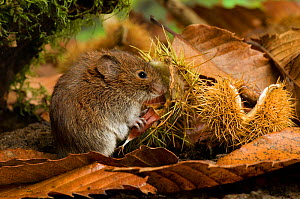 Bank vole (Clethrionomys glareolus) holding Sweet Chestnut seed in Autumn, Captive, UK.  -  Andy Sands