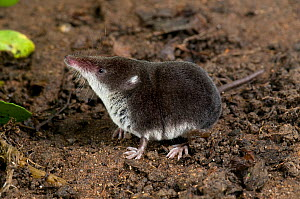 European water shrew (Neomys fodiens) portrait, Captive, UK. - Andy Sands