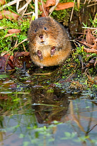 Water vole (Arvicola terrestris) Standing on back legs on riverbank, West Sussex, England, UK.  -  Andy Sands