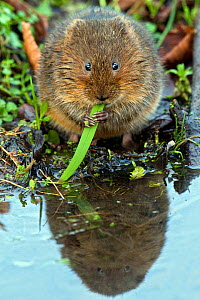 Water vole (Arvicola terrestris) feeding on grass, West Sussex, England, UK.  -  Andy Sands