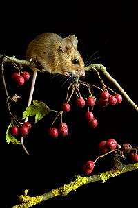 Yellow-necked mouse (Apodemus flavicollis) climbing among Hawthorn berries, Captive, UK.  -  Andy Sands