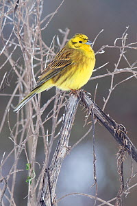 Yellowhammer (Emberiza citrinella) perched with feathers puffed out on cold winter morning, Hertfordshire, England, UK. - Andy Sands