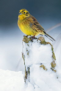 Yellowhammer (Emberiza citrinella) perched on tree stump in snow, Hertfordshire, England, UK. - Andy Sands