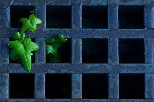 Ivy (Hedera sp) growing through metal grating in garden of Vatican City, Rome, Italy, March 2010  -  Wild Wonders of Europe / Geslin