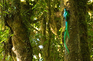 Resplendent quetzal (Pharomachrus mocinno) male at entrance to nest hole in tree, showing very long tail feathers, cloud forest El Triunfo biosphere reserve, Sierra Madre del Sur, Chiapas, Mexico - Patricio Robles Gil