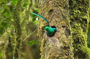 Resplendent quetzal (Pharomachrus mocinno) male at entrance to nest hole in tree, El Triunfo biosphere reserve, Sierra Madre del Sur, Chiapas, Mexico  -  Patricio Robles Gil