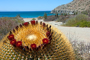 Giant barrel cactus (Ferocactus diguetii) in flower on coast, Catalina Island, Gulf of California, Mexico  -  Patricio Robles Gil