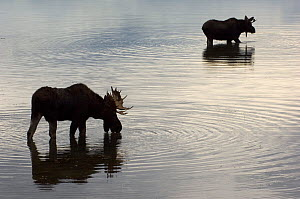 Two male Moose (Alces alces) in lake, one drinking, silhouetted, Gran Teton National Park, Wyoming, USA, October  -  Patricio Robles Gil