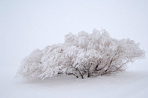 Tree covered in snow after blizzard, Wyoming, USA, January 2008  -  Patricio Robles Gil