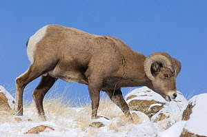 Bighorn sheep (Ovis canadensis) ram grazing in snow, Wind River Range, Wyoming, USA, January - Patricio Robles Gil