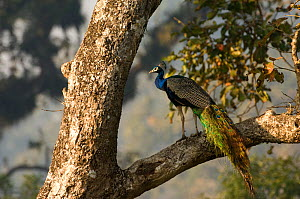 Common peafowl {Pavo cristatus} male peacock perched in tree, Royal Chitwan NP, Nepal - Patricio Robles Gil