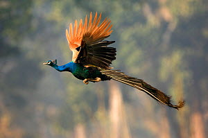 Common peafowl {Pavo cristatus} male peacock in flight, Royal Chitwan NP, Nepal  -  Patricio Robles Gil