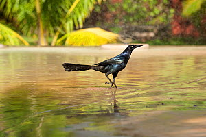 Great tailed grackle (Quiscalus mexicanus) in water, Yucatan, Mexico - Patricio Robles Gil