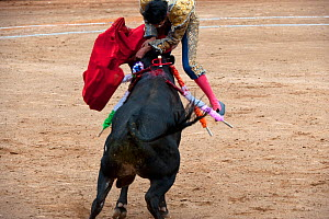 Matador in final stages of bullfight leaps over bull to pierce bull between horns with blade, Plaza de Toros, Mexico City, Mexico  Sequence  -  Patricio Robles Gil