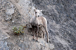Stone sheep (Ovis dalli stonei) on rocks, Stone Mountain, British Columbia, Canada  -  Patricio Robles Gil