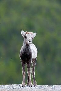 Stone sheep (Ovis dalli stonei) lamb, portrait, Stone Mountain, British Columbia, Canada  -  Patricio Robles Gil