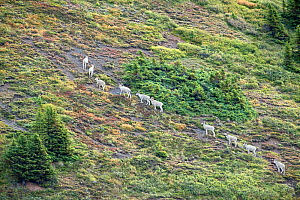 Male Dall sheep (Ovis dalli) herd walking in line, South Nahanni Backbone Range, Mackenzie Mountains, North West Territories, Canada  -  Patricio Robles Gil