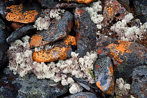 Close-up of rocks and lichens, Mackenzie Mountains, Northwest Territories, Canada - Patricio Robles Gil