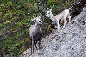 Stone sheep (Ovis dalli stonei) with lamb, Stone Mountain, British Columbia, Canada  -  Patricio Robles Gil