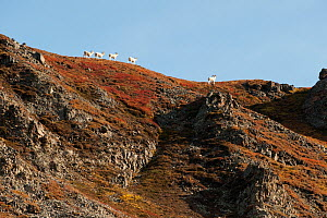 Young Dall sheep (Ovis dalli) rams on ridge, Denali National Park, Alaska, USA  -  Patricio Robles Gil