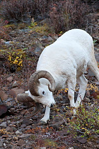 Dall sheep (Ovis dalli) ram feeding, Denali National Park, Alaska, USA  -  Patricio Robles Gil