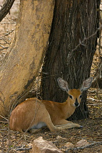 Female Steenbok (Raphicerus campestris) resting in shade, Kruger NP, South Africa  -  Patricio Robles Gil