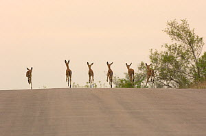 Six young Impala {Aepyceros melampus} running down road in Kruger NP, South Africa  -  Patricio Robles Gil