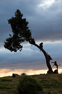 Silhouette of young Gelada baboons (Theropitecus gelada) playing in tree at dawn, Simien Mountains NP, Ethiopia - Patricio Robles Gil