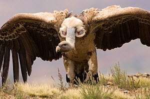 Ruppell's vulture (Gyps rueppellii) aggressive posture, Simien Mountains NP, Ethiopia.  -  Patricio Robles Gil