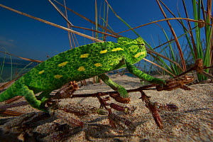 Juvenile African chameleon (Chamaeleo africanus) on twig, Southern Peloponnes, Greece, May 2009. WWE INDOOR EXHIBITION - Wild Wonders of Europe / Ziegler