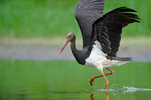 Black stork (Ciconia nigra) just after landing, Elbe Biosphere Reserve, Lower Saxony, Germany, August 2008  -  Wild Wonders of Europe / Damschen