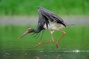 Black stork (Ciconia nigra) landing in water, Elbe Biosphere Reserve, Lower Saxony, Germany, August 2008  -  Wild Wonders of Europe / Damschen