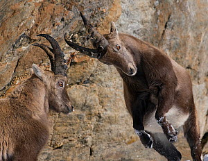 Two Alpine ibex (Capra ibex) fighting, Gran Paradiso National Park, Italy, November 2008 - Wild Wonders of Europe / E. Haarberg