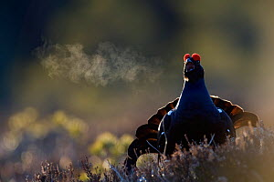 Male Black grouse (Tetrao tertrix) displaying, expiring warm air on a cold morning, Bergslagen, Sweden, April 2009  -  Wild Wonders of Europe / E. Haarberg