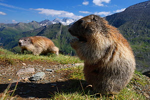 Alpine marmot (Marmota marmota) feeding, Hohe Tauern National Park, Austria, July 2008 - Wild Wonders of Europe / Lesniew