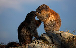 Two Alpine marmots (Marmota marmota) playing, Hohe Tauern National Park, Austria, July 2008 - Wild Wonders of Europe / Lesniew