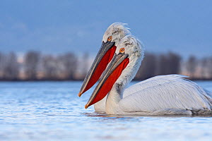 Two Dalmatian pelicans (Pelecanus crispus) on Lake Kerkini, Macedonia, Greece, February 2009  -  Wild Wonders of Europe / Peltomäki