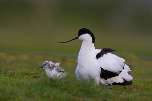 Avocet (Recurvirostra avosetta) with chick, Texel, The Netherlands, May 2009  -  Wild Wonders of Europe / Peltomäki